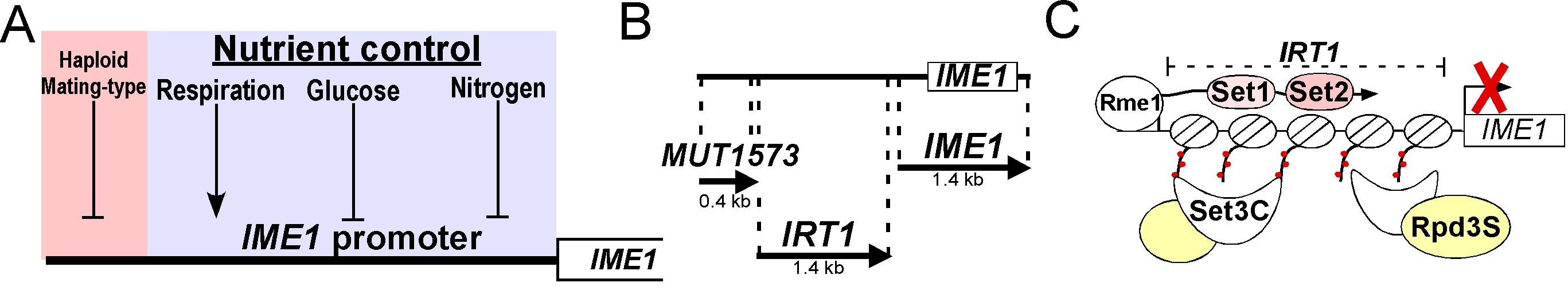 Figure 2. (A) Overview of the signals controlling the IME1 promoter. (B) Annotation of two ncRNAs in the IME1 promoter. (C) Model describing the mechanism by which the lncRNA IRT1 represses IME1.